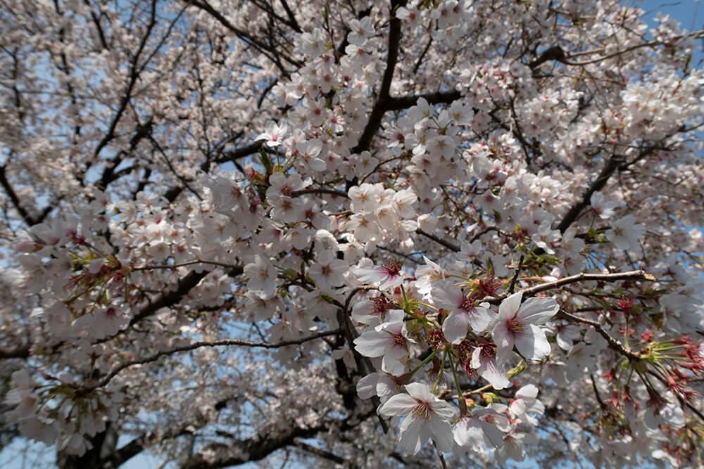 桜の写真 RAW現像